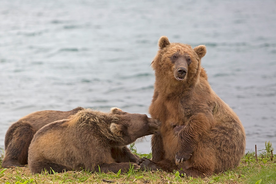 Russian bears: Photos of ferocious animals from Kamchatka - 25