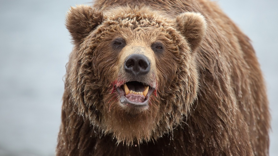 Russian bears: Photos of ferocious animals from Kamchatka - 27