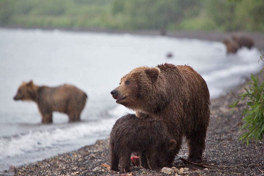 Russian bears: Photos of ferocious animals from Kamchatka - 3