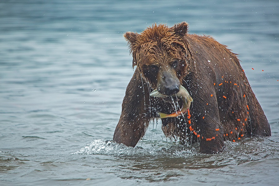 Russian bears: Photos of ferocious animals from Kamchatka - 32