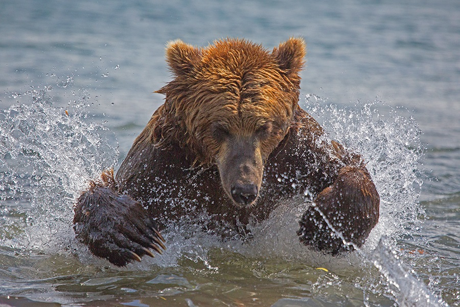 Russian bears: Photos of ferocious animals from Kamchatka - 5