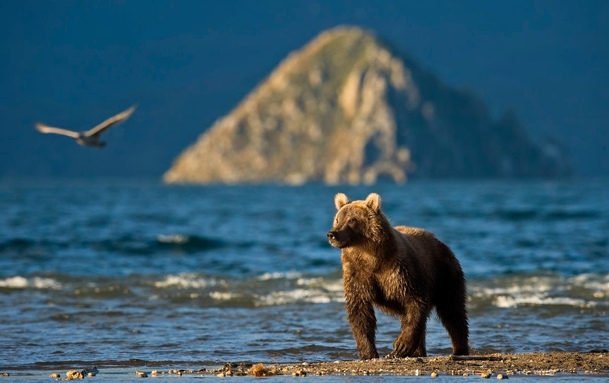 Ungentle charm of Kamchatka bears in photos by Sergey Ivanov - 1
