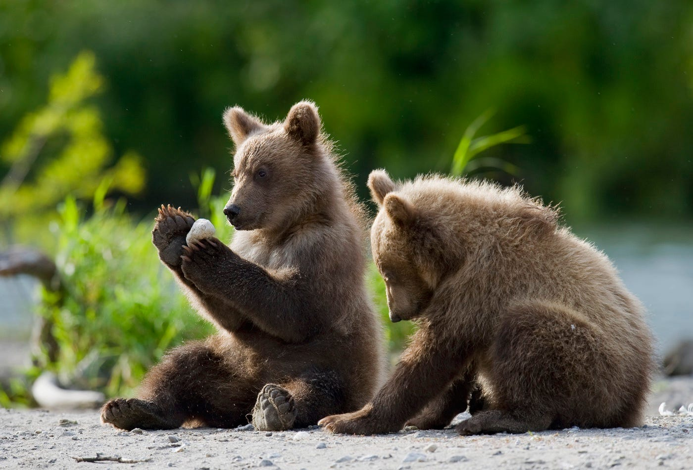 Ungentle charm of Kamchatka bears in photos by Sergey Ivanov - 11