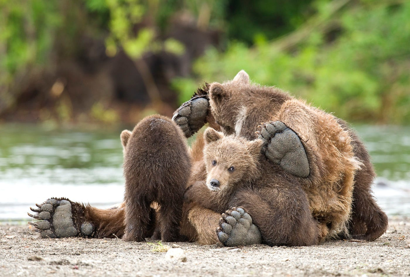 Ungentle charm of Kamchatka bears in photos by Sergey Ivanov - 12