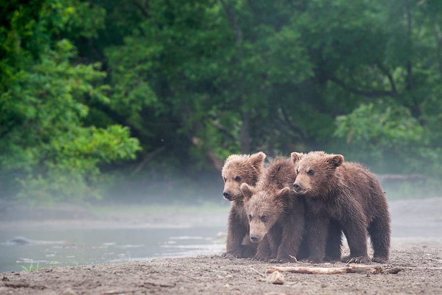 Ungentle charm of Kamchatka bears in photos by Sergey Ivanov - 17