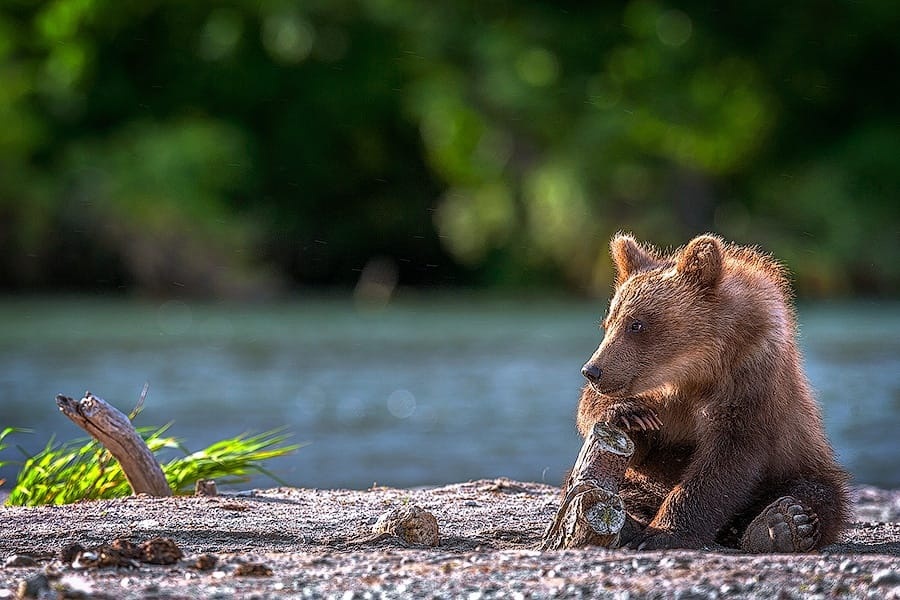 Ungentle charm of Kamchatka bears in photos by Sergey Ivanov - 18