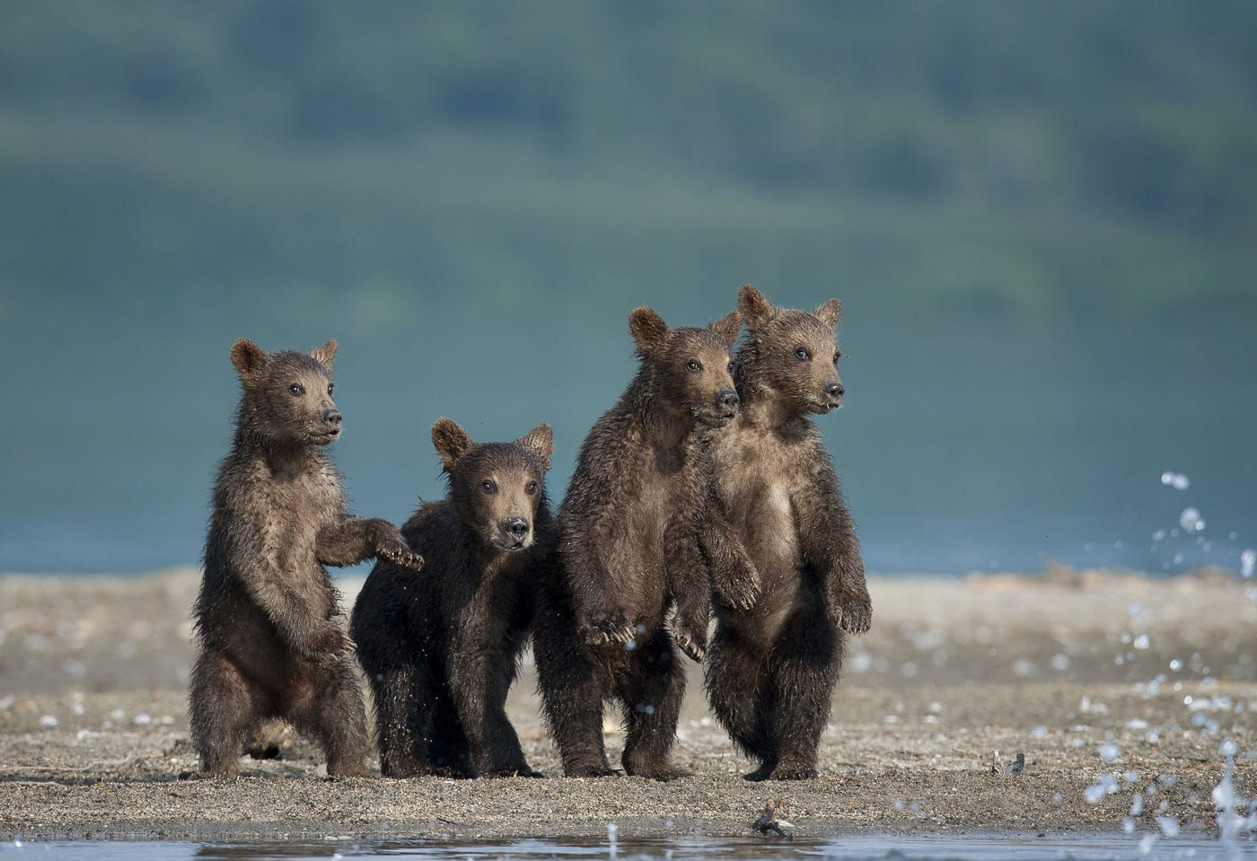 Ungentle charm of Kamchatka bears in photos by Sergey Ivanov - 2