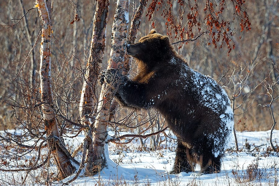 Ungentle charm of Kamchatka bears in photos by Sergey Ivanov - 20