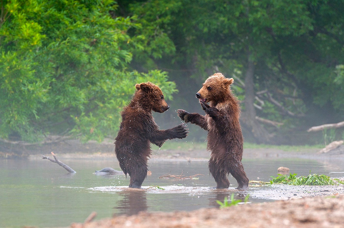 Ungentle charm of Kamchatka bears in photos by Sergey Ivanov - 21