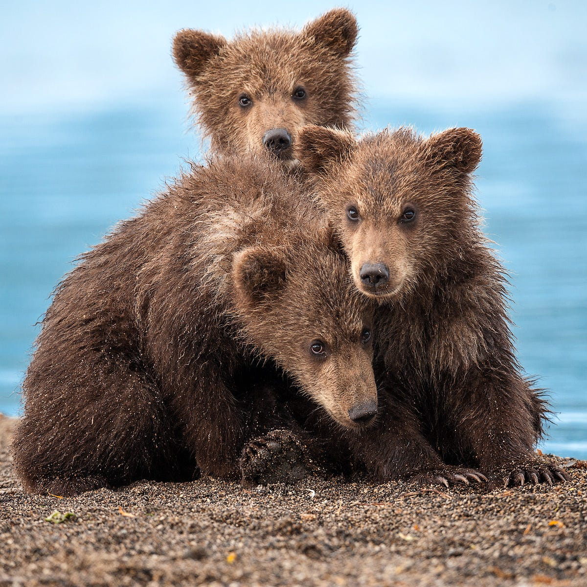 Ungentle charm of Kamchatka bears in photos by Sergey Ivanov - 28