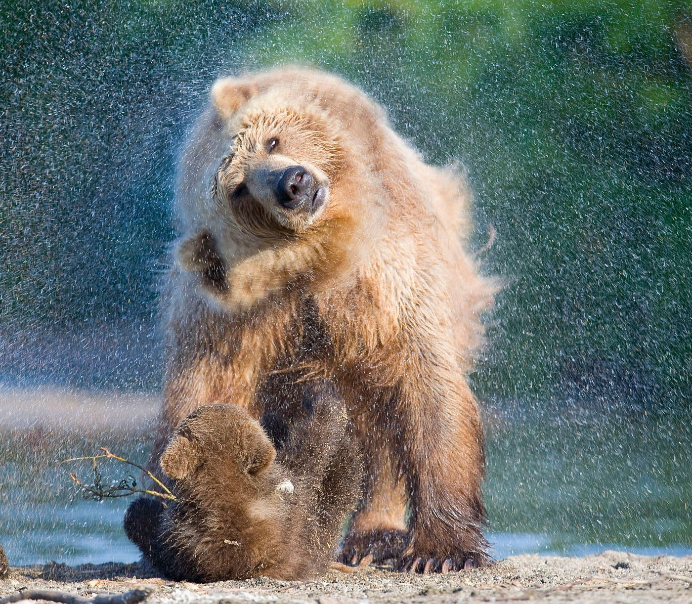 Ungentle charm of Kamchatka bears in photos by Sergey Ivanov - 3