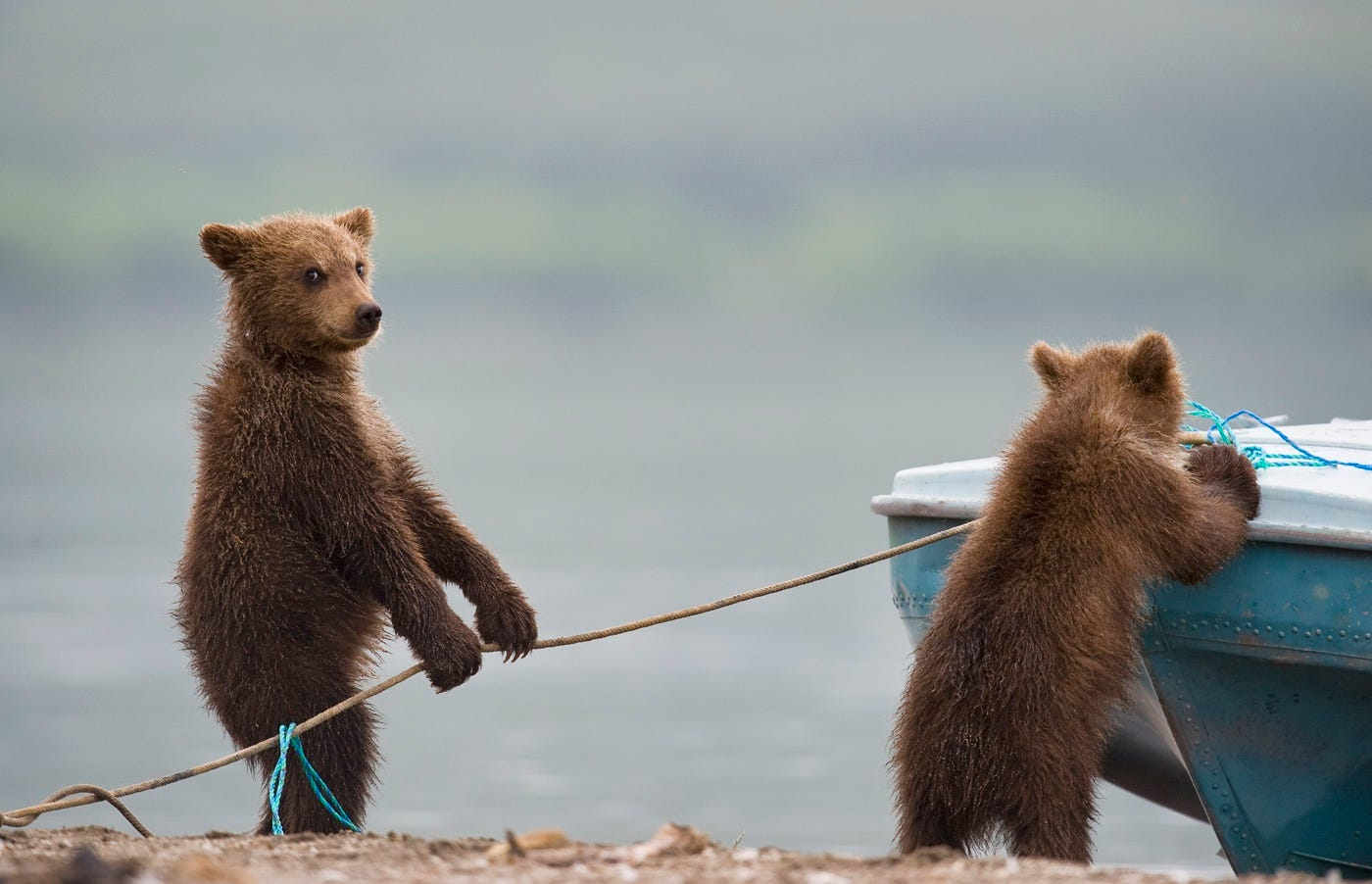 Ungentle charm of Kamchatka bears in photos by Sergey Ivanov - 5
